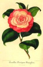 Camellia Principessa Rospigliosi by Ambroise Alexandre Verschaffelt